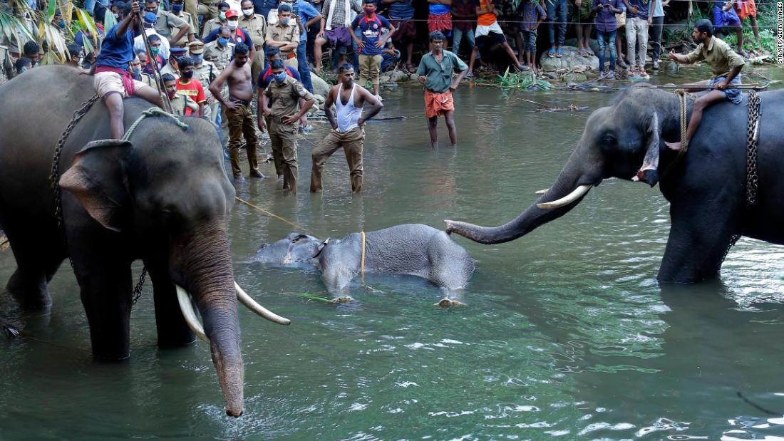 An elephant in Kerala dies after suspicious firecrackers hidden in fruit exploded in her mouth