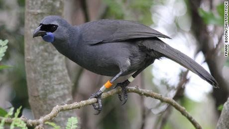 Coca-Cola - a New Zealand indigenous bird - in a wildlife sanctuary on the island of Tiritiri Matangi.