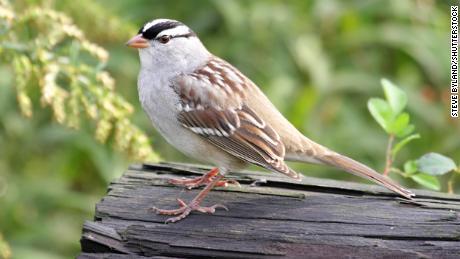 An adult sparrow with a white wreath on a log.