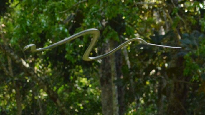 Flying snakes? Here's how snakes can glide through the air