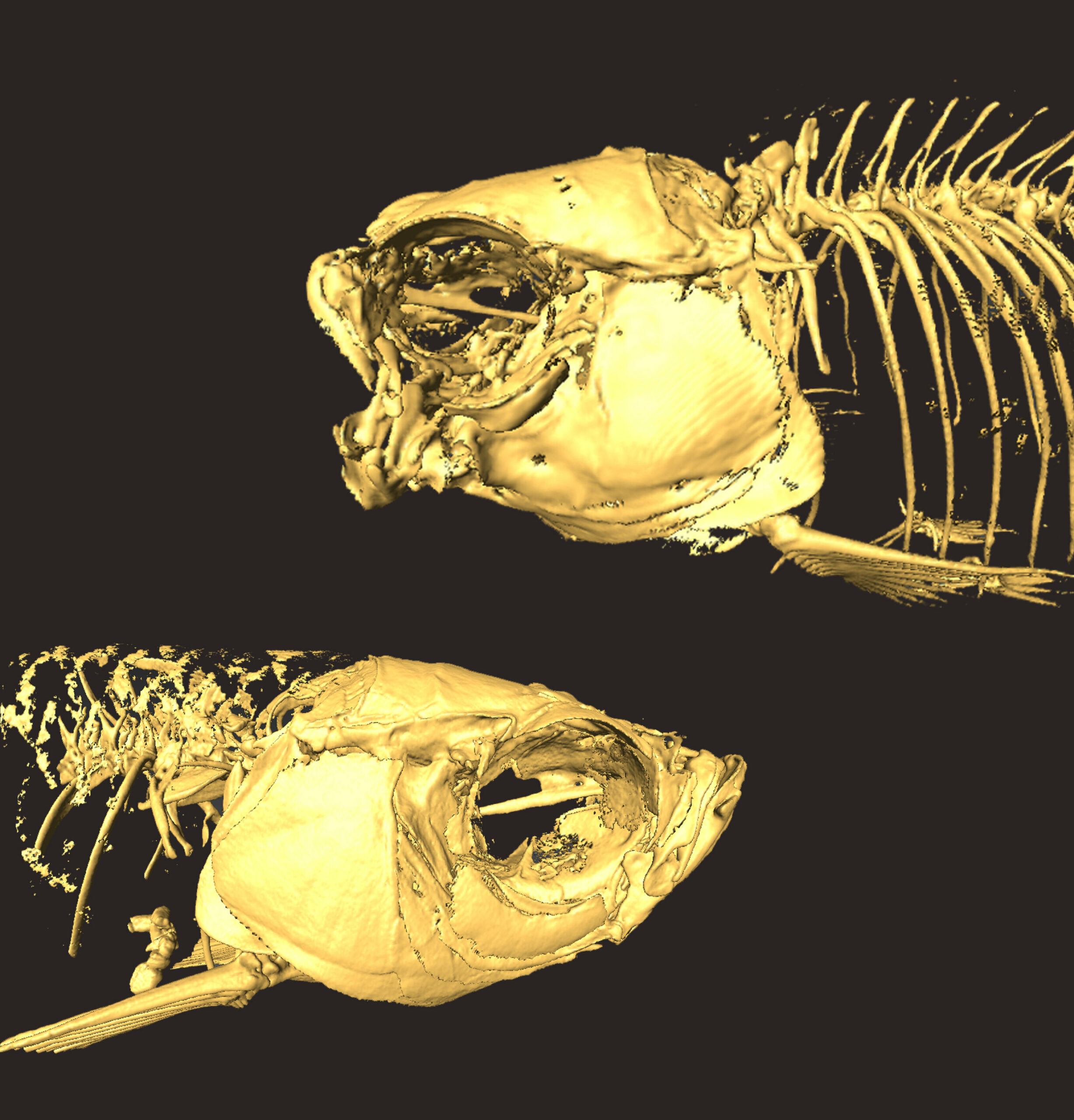 Modern mutant fishes replicate creatures of ancient oceans
