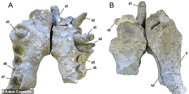 Palaeontologist examined fossilized jaws belonging to a number of Deinoschus, revealing the beasts had teeth 'the size of bananas' with crushing power to take down even the largest dinosaurs