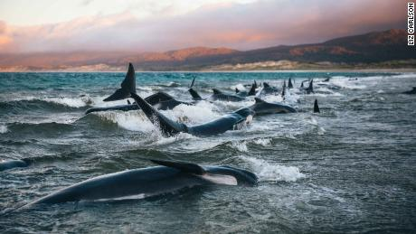 A woman talks about a heartbreaking attempt to save 145 whales on the beach