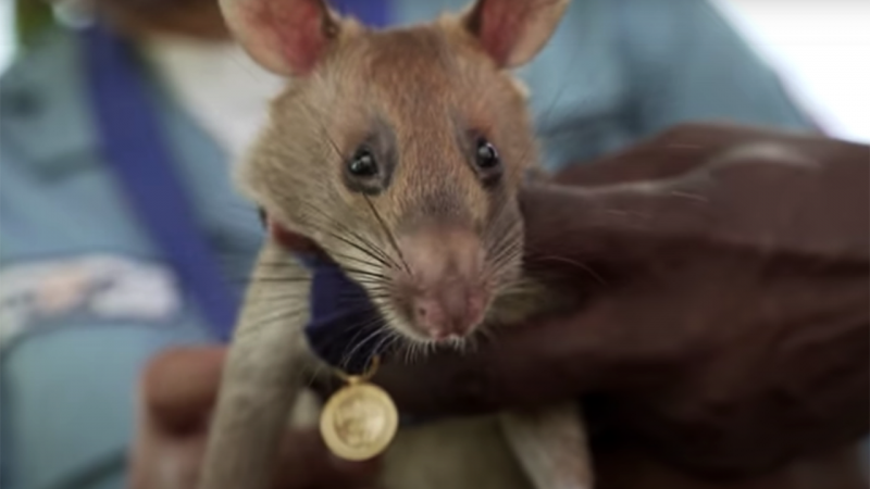 A giant mouse wins an animal hero award for discovering landmines in Cambodia