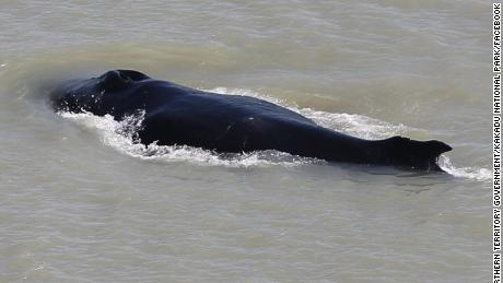 Three whales were first seen in the river, but experts believe that only one remains.