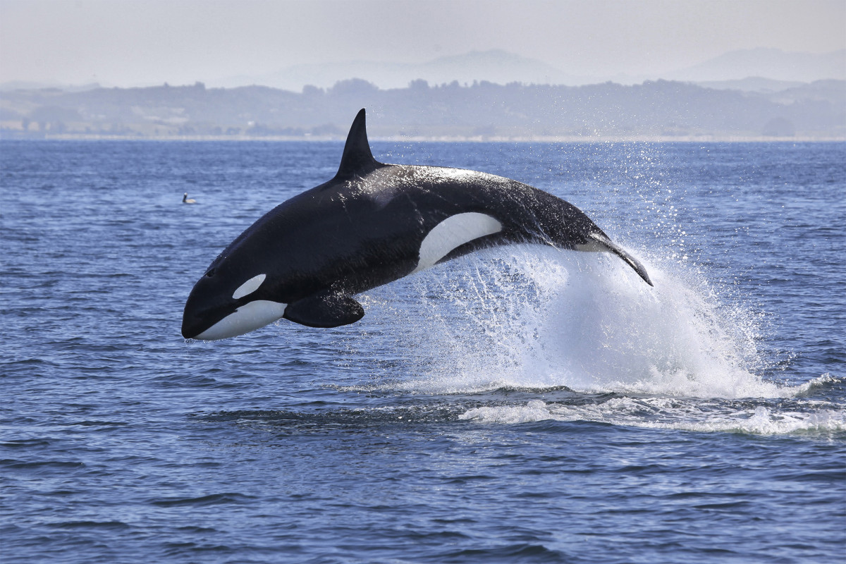 Killer whales attack sailboats near Spain and Portugal