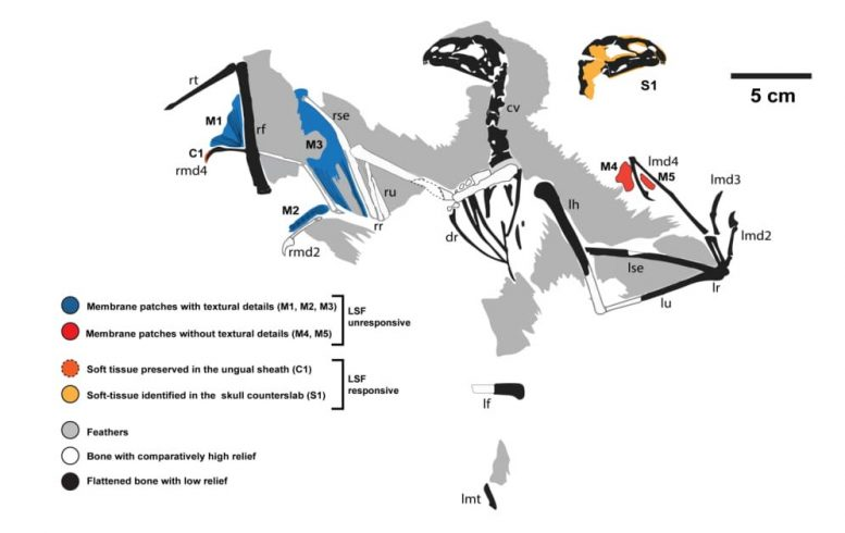 Ambopteryx Dinosaur Skeleton Map