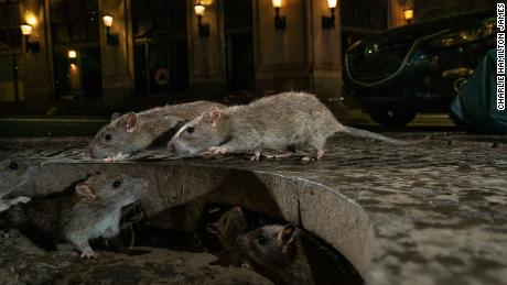 With restaurants closed, the CDC says the rats have become aggressive