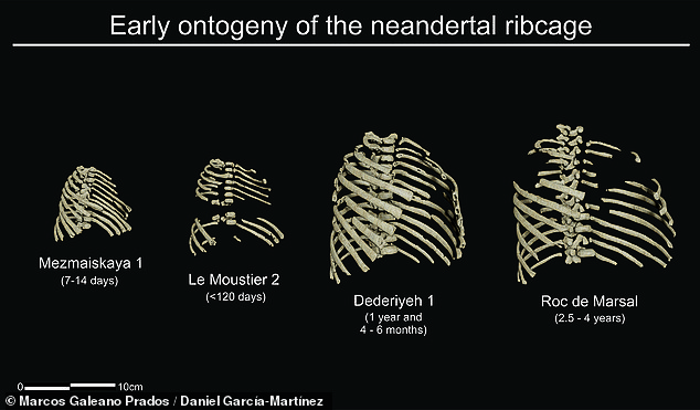 A study found that newborn Neanderthals actually possessed barrel-shaped ribs characteristic of older adults - a trait that allowed them to gain more body weight. In the photo, the 3D reconstruction shows the early development, or `` genesis, '' of the rib cage of a Neanderthal