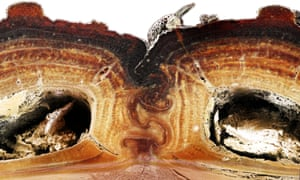 The beetle has entangled elytra