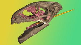 Computerized tomography of a pannirbitontid fossil skull