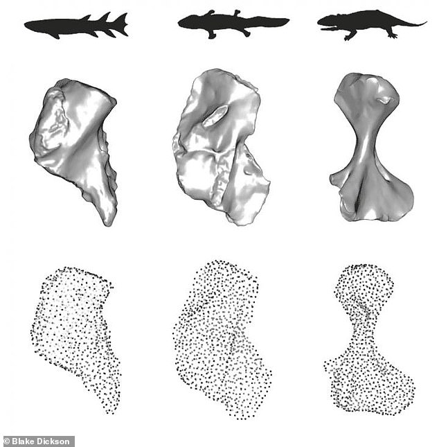 They found that the early L-shaped (middle) humerus derived from a fractured fish bone (left) provided some benefits for moving on the ground - but not much.  The pioneering creatures had a long way to go before they developed the ability to use their limbs with ease.  Later, the bone morphed into a stronger, elongated, and twisted shape (right) - resulting in a more active gait that helped nourish the new biodiversity and expand ecosystems