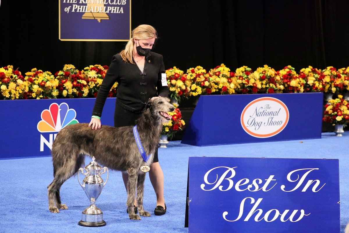 Claire the Scottish Deerhound bags first place at the National Dog Show 2020