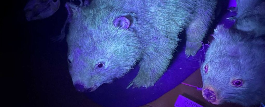 Stop it all – it turns out that wombat also has glowing faux fur
