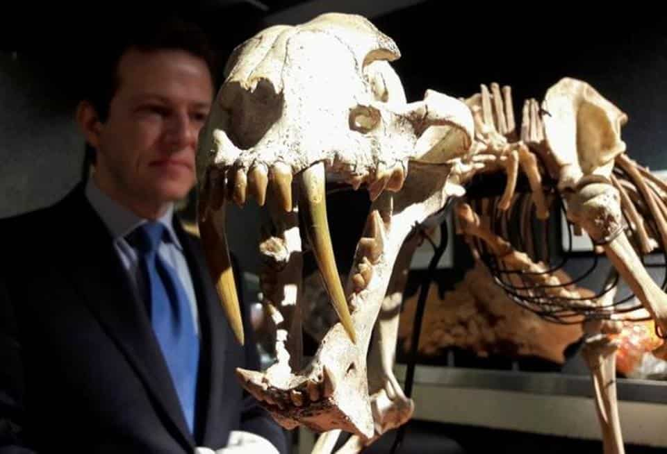 The photo shows the skeleton of a 37 million year old tiger.