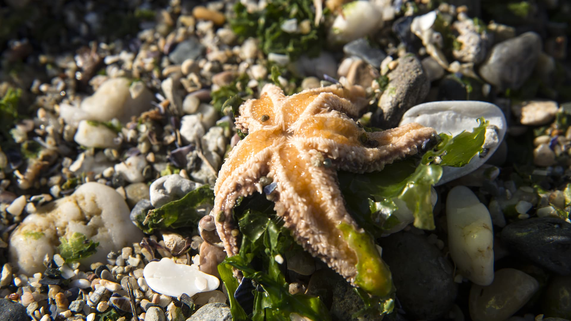 Bacteria and excessive fertilization turn the starfish into a sticky substance