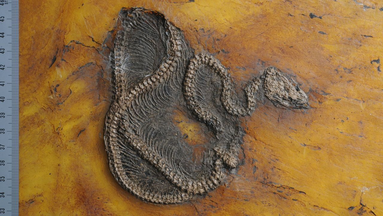 Messel Pit: The oldest fossil snake has been discovered in the World Heritage