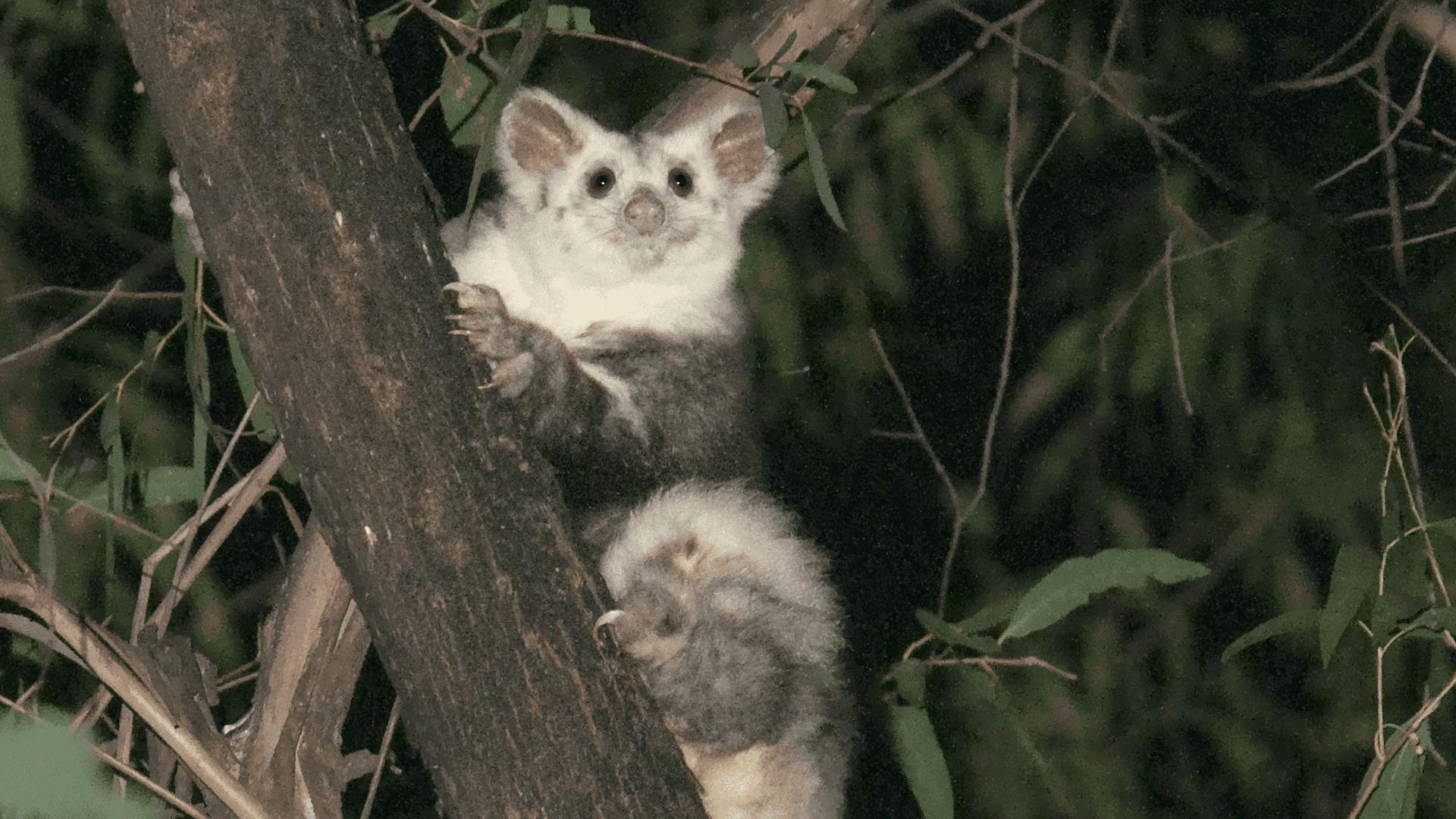 Species Protection: Flying Marsupials – Spectrum of Science