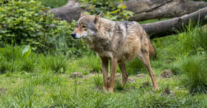 Switzerland strongly rejects legal wolf hunting |  Animal World Blog