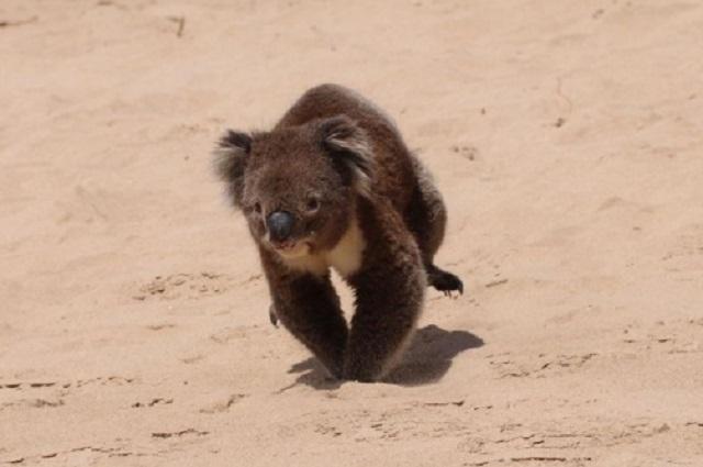 They catch koalas while walking on the shores of Australia