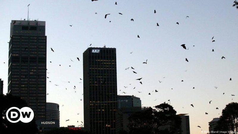 Australia and the Fruit Bats - A Love-Hate Affair    Global Ideas    DW