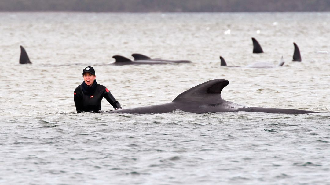 270 flying whales stranded on the coast – 90 animals have already died