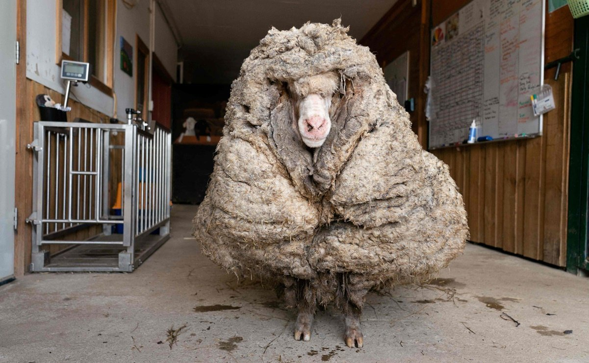 After escaping, they found a sheep with 35 kilograms of wool in a forest in Australia
