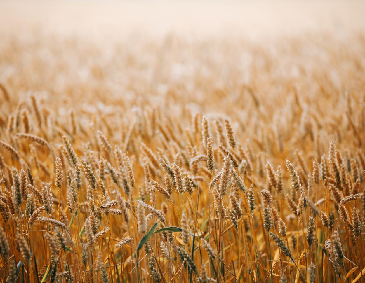 Australia: The huge wheat crop is on the increase