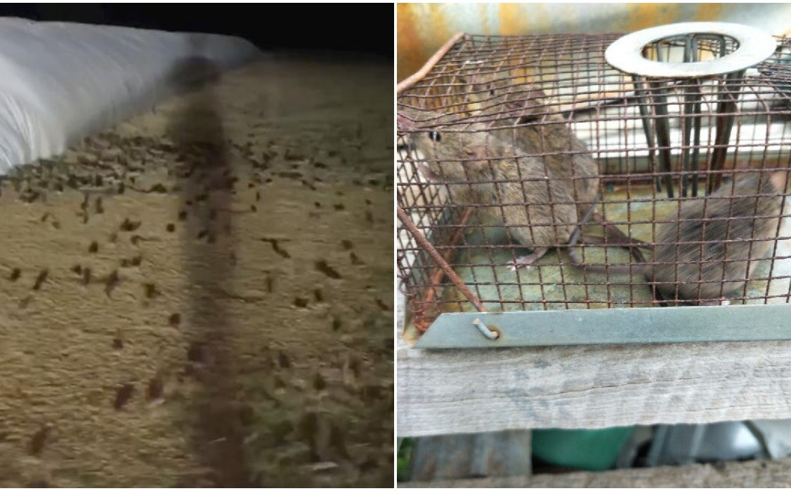 The video records a huge rats infestation in grain fields in Australia