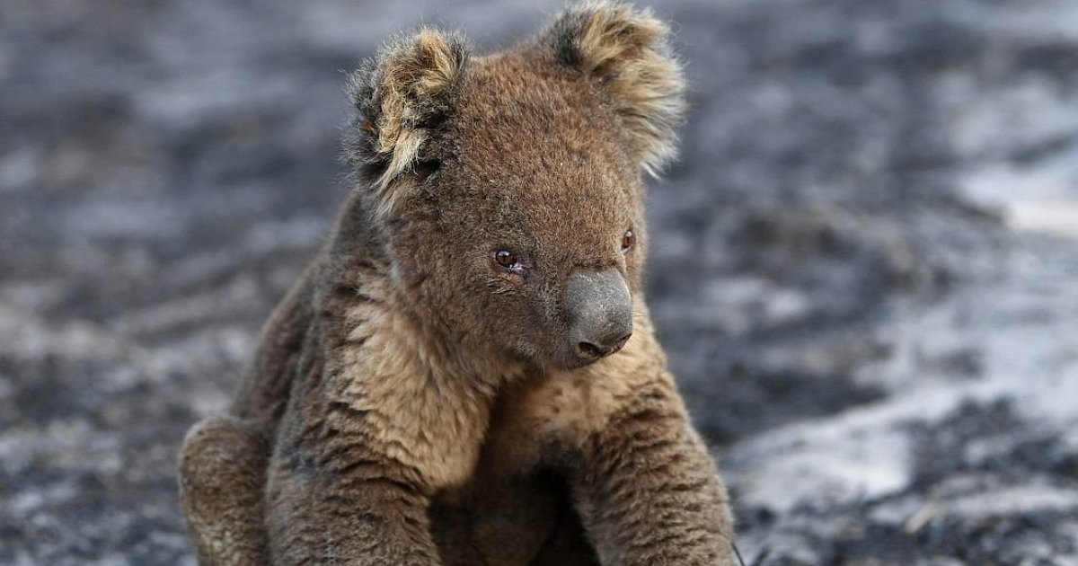 More than 60,000 koalas are affected by bushfires in Australia |  Science News