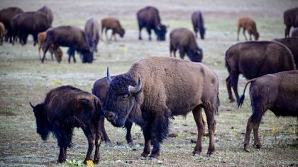 American bison grazing near the northern edge of the Grand Canyon National Park, July 17, 2020 (Photo by Eric Berdat / AFP)