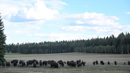The American bison, also known as buffalo, grazing near the northern edge of the Grand Canyon National Park, July 17, 2020 (Photo by Eric Pradat / AFP)