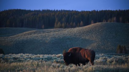 In this July 9, 2020 photo, an American bull grazing in Yellowstone National Park (Photo by Eric Bardat / AFP)