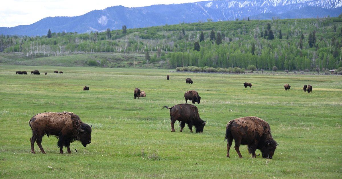 They called on volunteer hunters to organize a bison population in the United States: more than 45,000 people attended