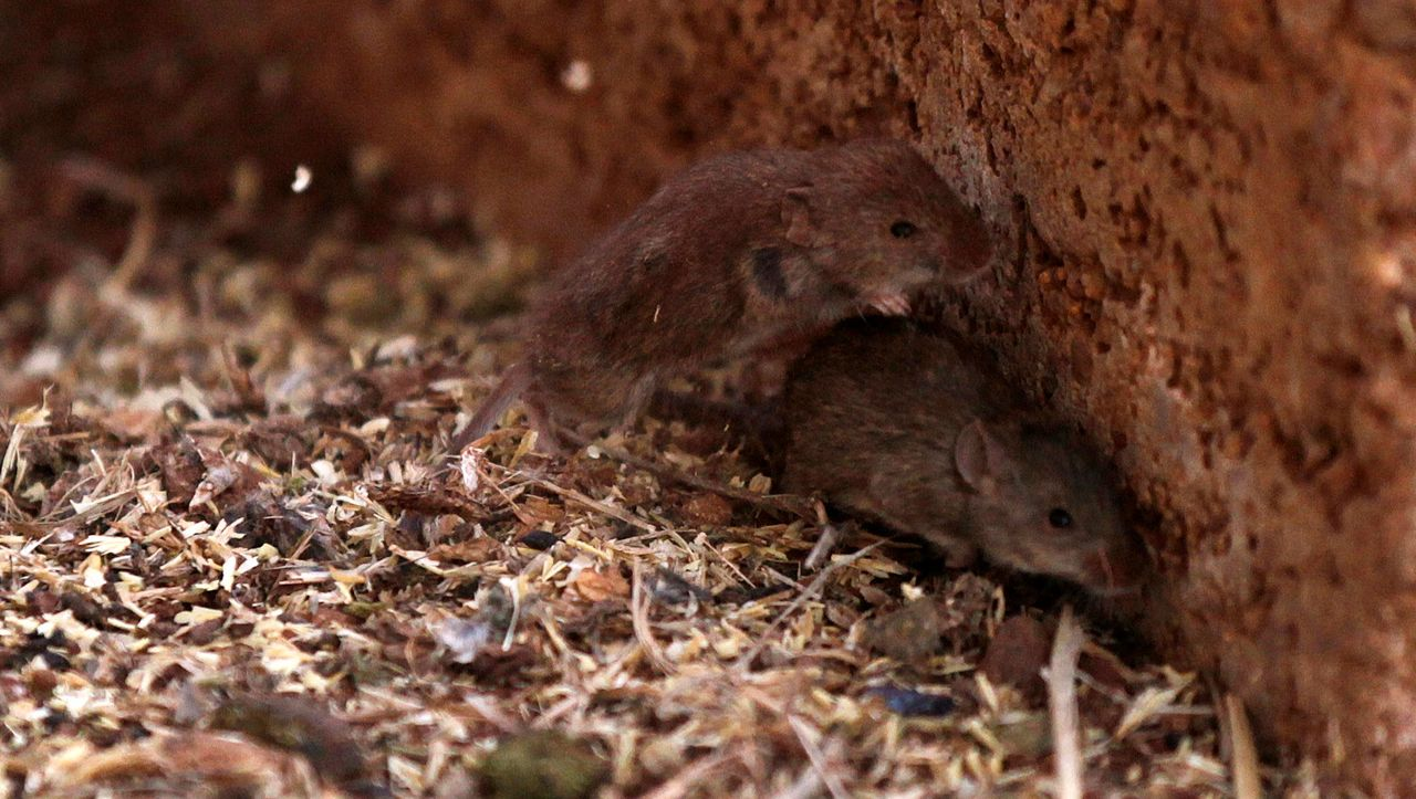 Australia: Mouse plague must be fought with poison and millions of people help
