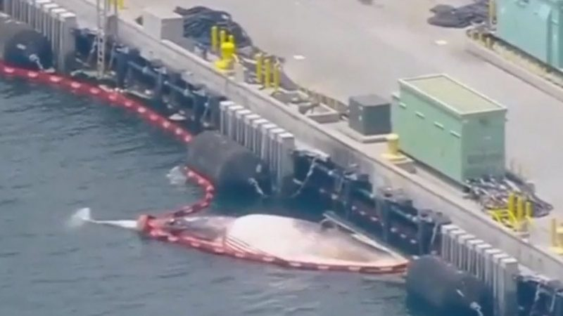 San Diego: An Australian warship arrives in port with two dead whales on board