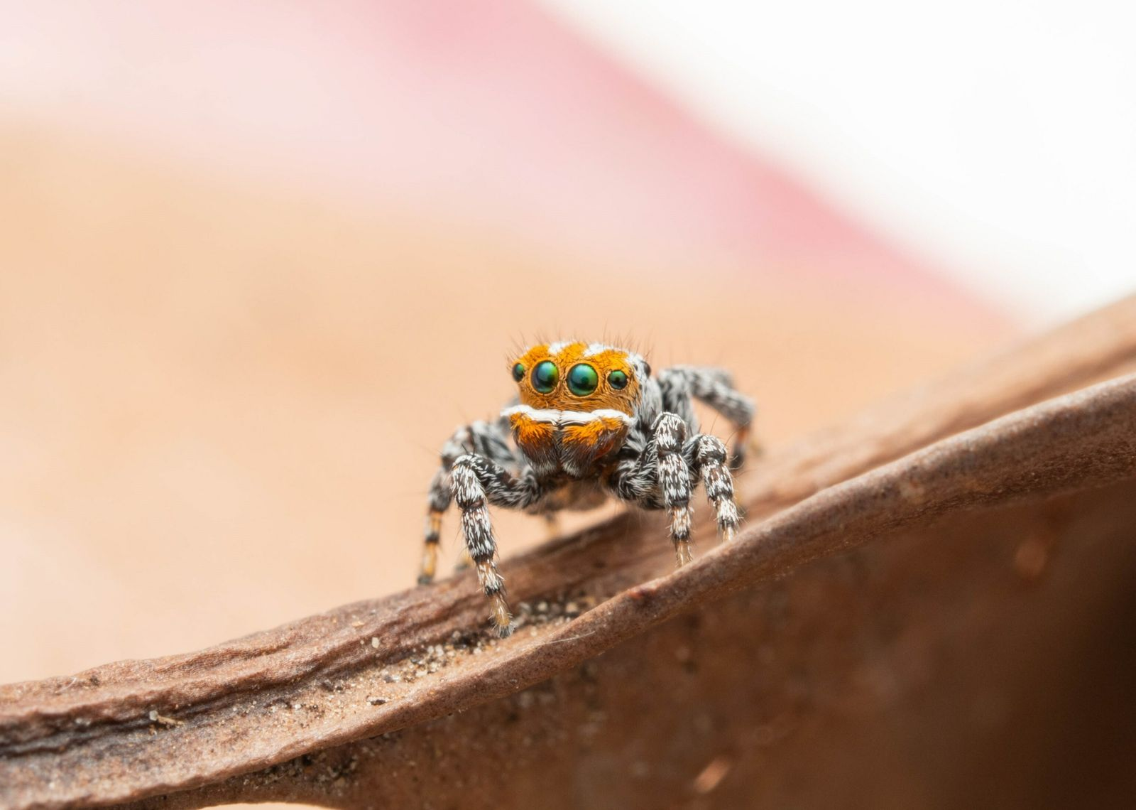 The newest peacock spider in Australia is called Nemo