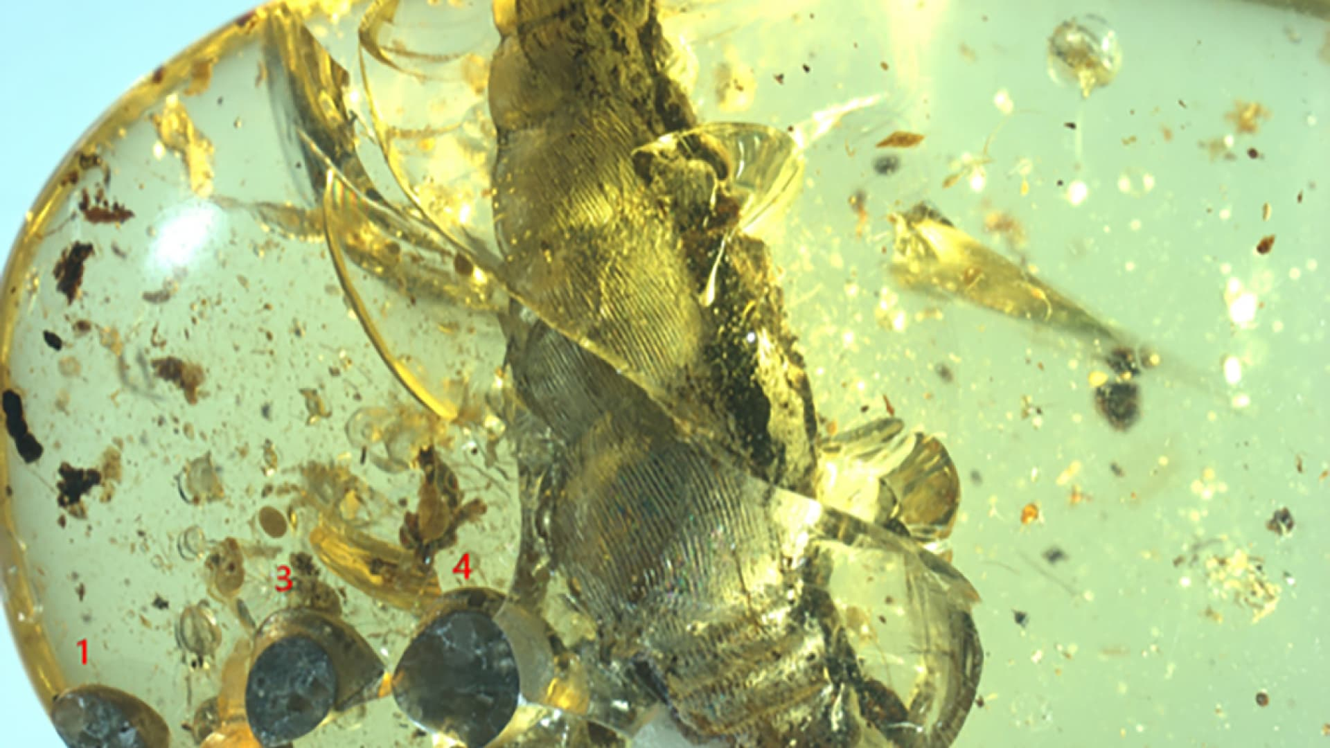 Cretaceous period: mother and infant snails preserved in amber