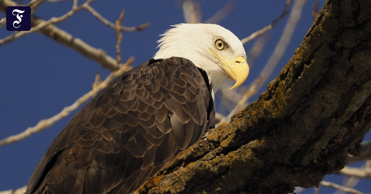 White-tailed eagles in the USA: what poisons the heraldic animal?