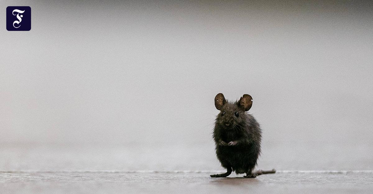 Rat plague threatens crops in eastern Australia