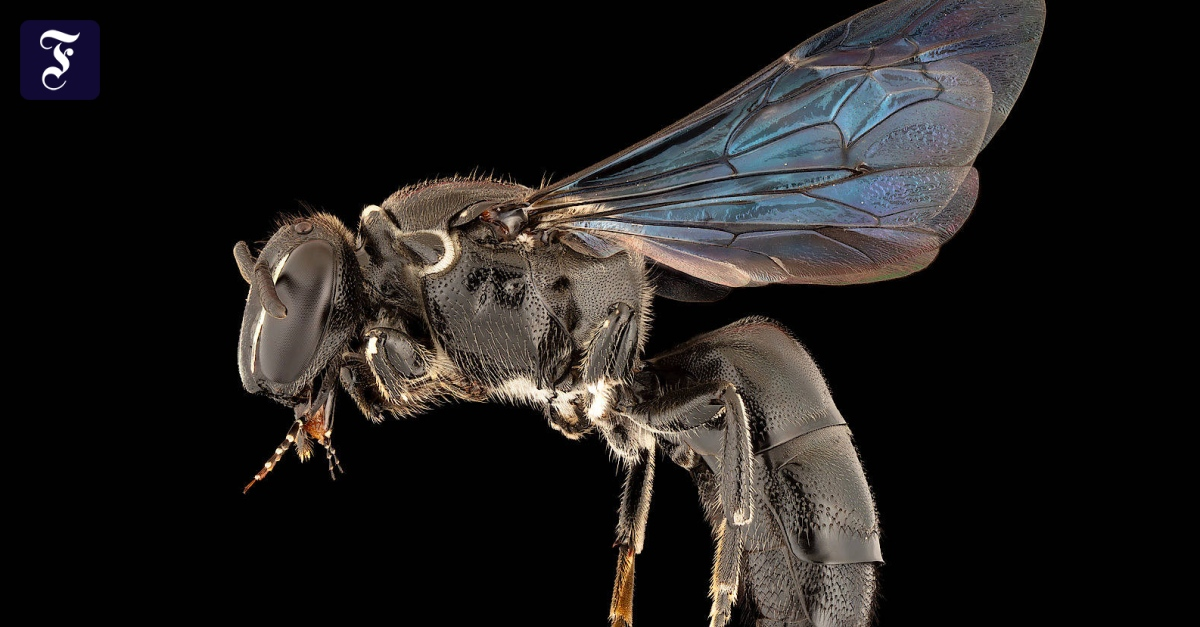 A species of bee that has been missing for 100 years has been discovered in Australia