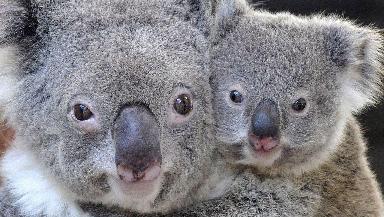 Australia: koala face recognition in testing