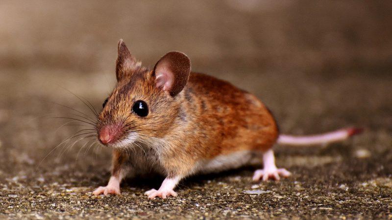Australia suffers worst rat plague in 10 years - Noticieros Televisa