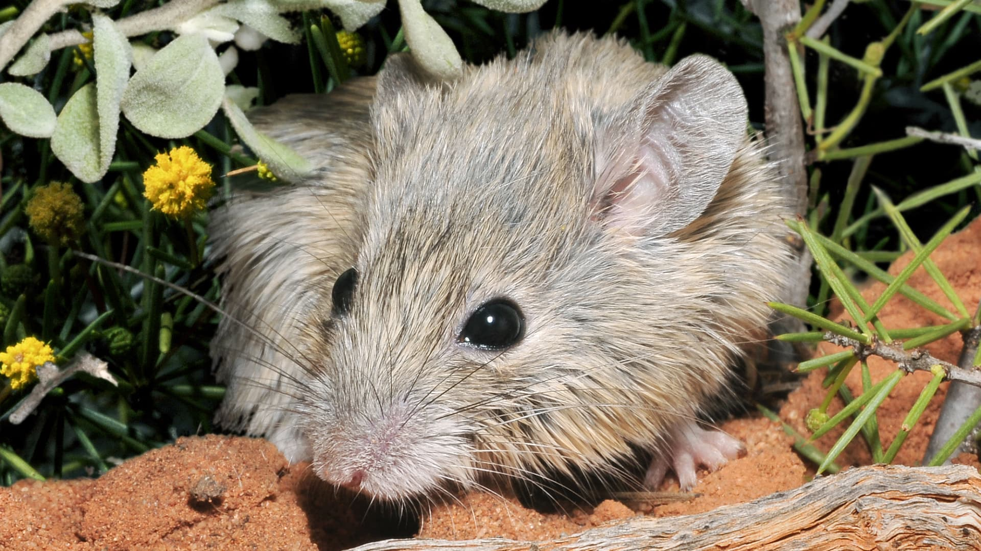 Biodiversity: the extinct mouse is still alive