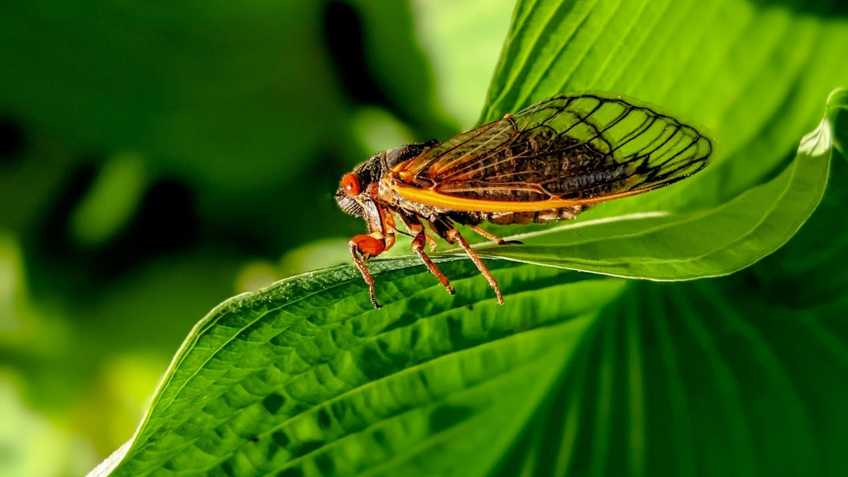 How Citizen Scientists Look for Cicadas