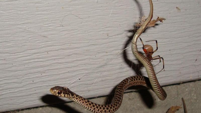 Science – Big Prey: Spiders also eat snakes – Wikipedia