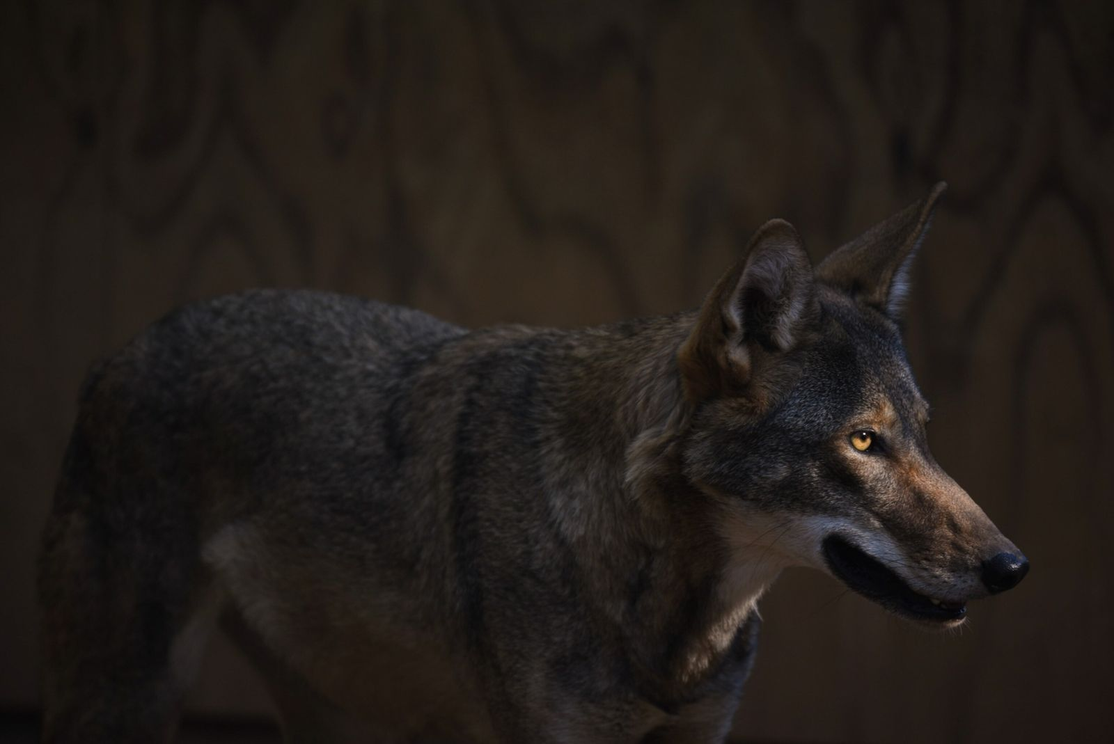The last wild red wolves in the world