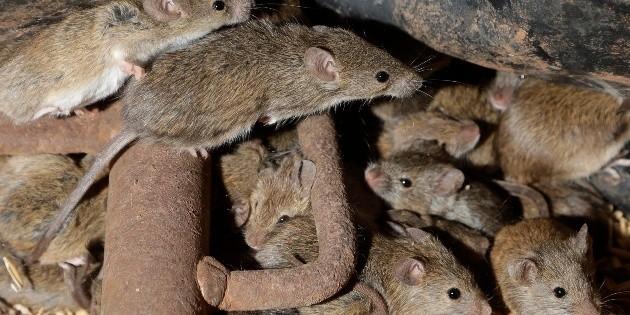 rat plague evacuated from australia prison