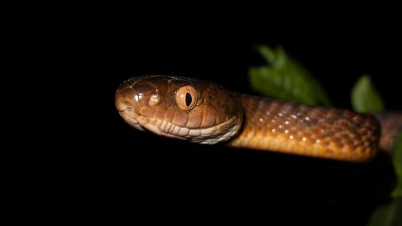 A new way to move snakes has been discovered and this is especially scary