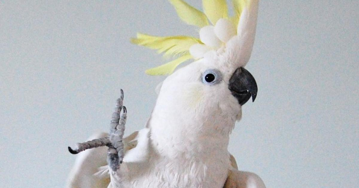 A cockatoo looking for food: open the litter box
